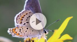 Why (and for how long) do butterflies stay in a cocoon?