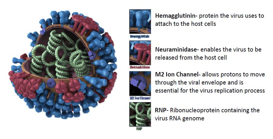 Influenza Virus H1n1 Fact Sheet Morgridge Institute For Research