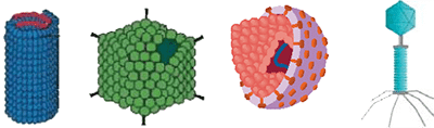 Viruses: helical, icosahedral, envelope, and complex